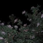 fond ecran 050529 fleurs sureau nuit