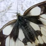 fond ecran 050716 papillon