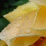 fond ecran 050901 rosee une rose jaune