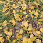 fond ecran 051023 feuilles peuplier