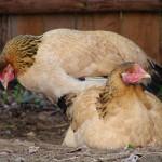 fond ecran 051128 poules jumelles noaillan