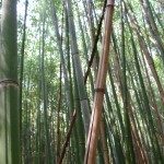 fond ecran 060126 bambous ciron villandraut