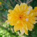 fond ecran 061014 quelle fleur est-ce dahlia merci francoise