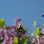 fond ecran 070504 papillon machaon autres bourdons
