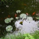 fond ecran 070520 mare poissons rouges uzeste