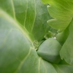 fond ecran 070610 bourgeon feuilles pavot