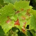 fond ecran 070811 feuille vigne malade