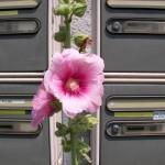 fond ecran 070813 rose tremiere boites aux lettres uzeste
