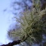 fond ecran 080108 lichens
