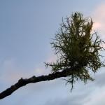 fond ecran 080109 lichens