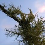 fond ecran 080110 lichens