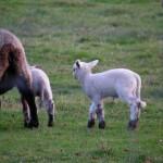 fond ecran 081214 brebis agneaux uzeste