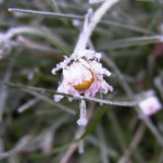 fond ecran 090412 gelee matinale une paquerette