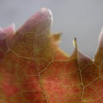 fond ecran 091118 feuille vigne banc noaillan