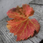 fond ecran 091120 feuille vigne banc noaillan