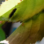 fond ecran 100429 insecte feuille noaillan