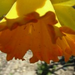 fond ecran 100531 fleur cadillac
